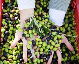 fall in tuscany olive