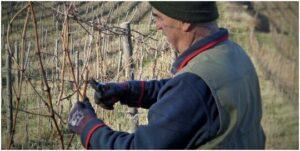 "IMG SRC=""Km Zero Tours pruning vineyard in Tuscany - Slow travel Tuscany.jpg"" WIDTH=""300″ HEIGHT=""169″ ALT=""Km Zero Tours"""
