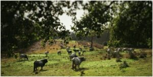 km zero tours - maremmana cows - slow travel in Tuscany discovering organic farms