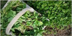 valeriana-salad-organic-garden-slow-food-km-zero-tours-slow-trael-tuscany-300x150