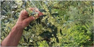 Olive oil flowers - olive harvest tours - Km Zero Tours - -Wine Tour Chianti - Slow Travel Tuscany300x151