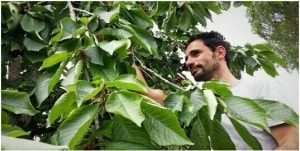 Alessio during the cherries harvest - Km Zero - Slow Travel Tuscany