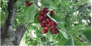 Cherries are ready for the harvest - Natural food here in Km Zero Tours - Slow Travel Tuscany