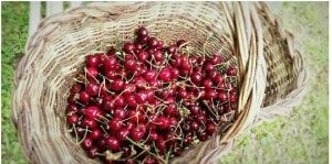 Natural cherries in Tuscany are ready for a delicious jam - Km Zero Tours - Slow Travel Tuscany