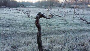 km-zero-tours-frozen-vineyards-during-winter-wine-tours-in-tuscany-chianti