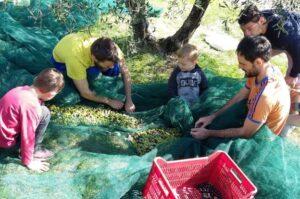 olive_harvest_11