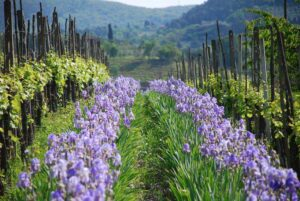 Giaggiolo field in Chianti - Km Zero Tours -Slow Travel Tuscany
